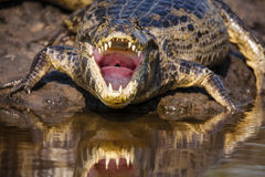 A Look Down A Caiman's Mouth and Throat Royalty Free Stock Photo