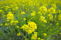 Free Look Down View Of Field Mustard Stock Photo - 5921860