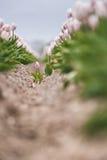Look through Dutch bulb fields with wild single tulips Stock Photo