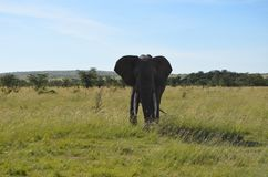Look that elephant! royalty free stock photography