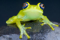 Blue-eyed tree frog / Boophis viridis Stock Photography