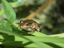 A Look Into the Face of a Brown Frog. Barataria Preserve with a brown frog in Louisiana stock photo