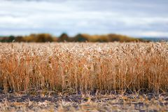 Look at a field of wheat from a rut