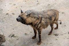 Look forward to-Striped hyaena. The head is 100-120 centimeters long, the shoulder height is 60-80 cm, the tail length is 25-40 centimeters, and the weight is 25 stock photo