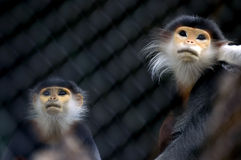 Look for freedom. Two monkeys confined in a case are longing for freedom Royalty Free Stock Photography