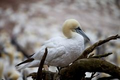 The Look of Gannet Royalty Free Stock Photography