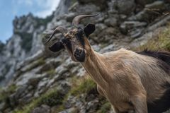The look of the goat royalty free stock images