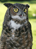 The look of a great horned owl. Royalty Free Stock Photos
