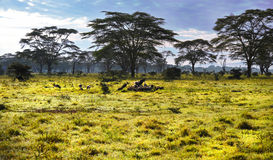 Look at a group of vultures in Africa on safari. Depressive look at a group of vultures in Africa on safari. In Kenya. In the background are trees and blue sky Stock Images