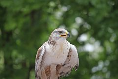 Look of a hawk looking for a possible prey Stock Images