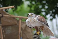 Look of a hawk looking for a possible prey Royalty Free Stock Images