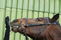 The look of the  horse Royalty Free Stock Photography