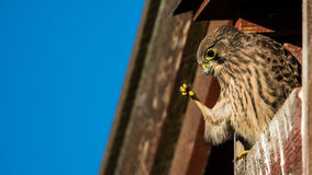 Look. How I can hide my claws, seems the you nestling european kestrel think perching in the nest box on the barn Royalty Free Stock Photography