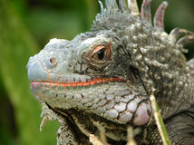 The Look of Iguana. The sharp and direct look of iguana on St. Thomas Island, U.S. Virgin Island royalty free stock photography