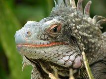 The Look of Iguana. The sharp and direct look of iguana on St. Thomas Island, U.S. Virgin Island Royalty Free Stock Photography