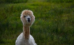 Llama posing with look of intrigue. Look of ingtrigue from llama in this upper body shot in grassy field royalty free stock photography
