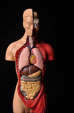Look inside body, human anatomy. Image of human body with internal organs stock photo