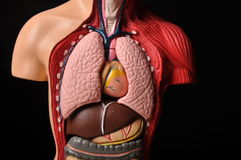 Look inside body, human anatomy. Image of human body with internal organs stock photography