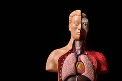 Look inside body, human anatomy. Image of human body with internal organs royalty free stock photos