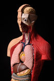 Look inside body, human anatomy. Image of human body with internal organs royalty free stock images