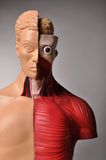 Look inside body, human anatomy. Image of human body with internal organs stock images