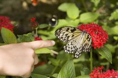 Look its a Butterfly. A childs hand pointing at a Tree Nymph Butterfly Stock Photos