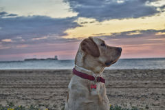 The look. Labrador dog breed attentive to others who roamed the beach in a beautiful sunset with a castle, which currently holds the lighthouse, as background Stock Images