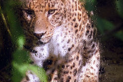 Look at the leopard through the glass Stock Photography