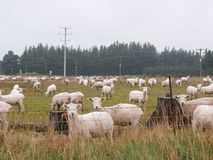 Alot of sheeps in Queenstowns. They look like a children sheeps when we say hello Royalty Free Stock Image