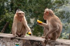 A couple of macaques shooting the breeze over their citrussy snack royalty free stock photography