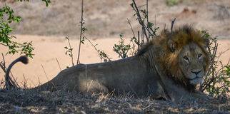 The look of the lion Royalty Free Stock Photo