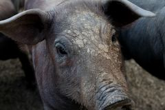 Look of a little piglet porc in Extremadura Spain royalty free stock images
