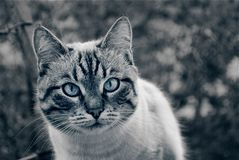 Look of a lying cat face muzzle black and white royalty free stock photos