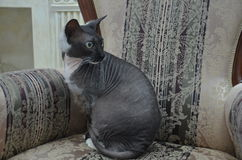 Look lying - exotic cat. Bald cat breed exotic lies on the pianos Royalty Free Stock Photography