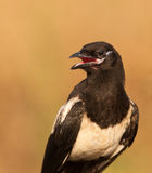The look of the Magpie Stock Photography
