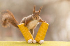 Look between maize Royalty Free Stock Photography