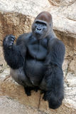 The look of a male Silverback Stock Image