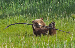 Grizzly bear baby rolling with toy stick Stock Image