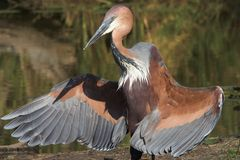 Look at me. Goliath heron displaying its wings Royalty Free Stock Image
