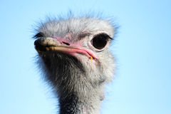 Look at me. Ostrich looks at me when I take this photo. It seems it say to me Am I beautful Stock Image