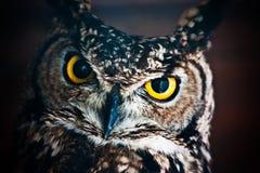 Look me - Athene noctua stock image