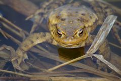 Look me in the eyes - common toad (bufo bufo) Royalty Free Stock Photo