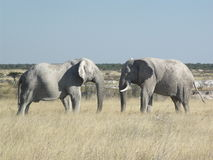 Two elephants having a stare down Stock Photos