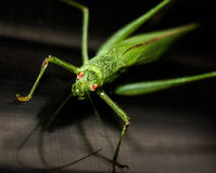 Look me in the eyes. Small green grasshopper loves the camera and lens royalty free stock photos