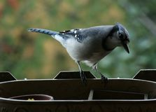 Look at me : I`m a blue and powerful jay royalty free stock image