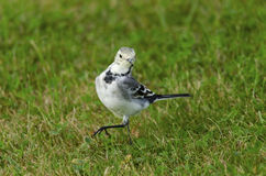 White Wagtail Royalty Free Stock Images