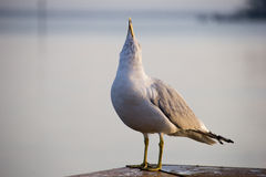 Look Mom, I can howl like a wolf!. Seagull in an unusual pose Royalty Free Stock Photos