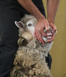 Look Mum No Teeth. A animal handler showing the abscence of top teeth in sheep Stock Image