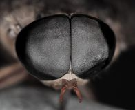 Look into My Eye's. Hundreds of eyes in one eye. Micro/macro of a horsefly and his eye. Nature up close Stock Image