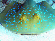 Look my eyes. A close look to a nice blue lagoon spotted ray Royalty Free Stock Photography